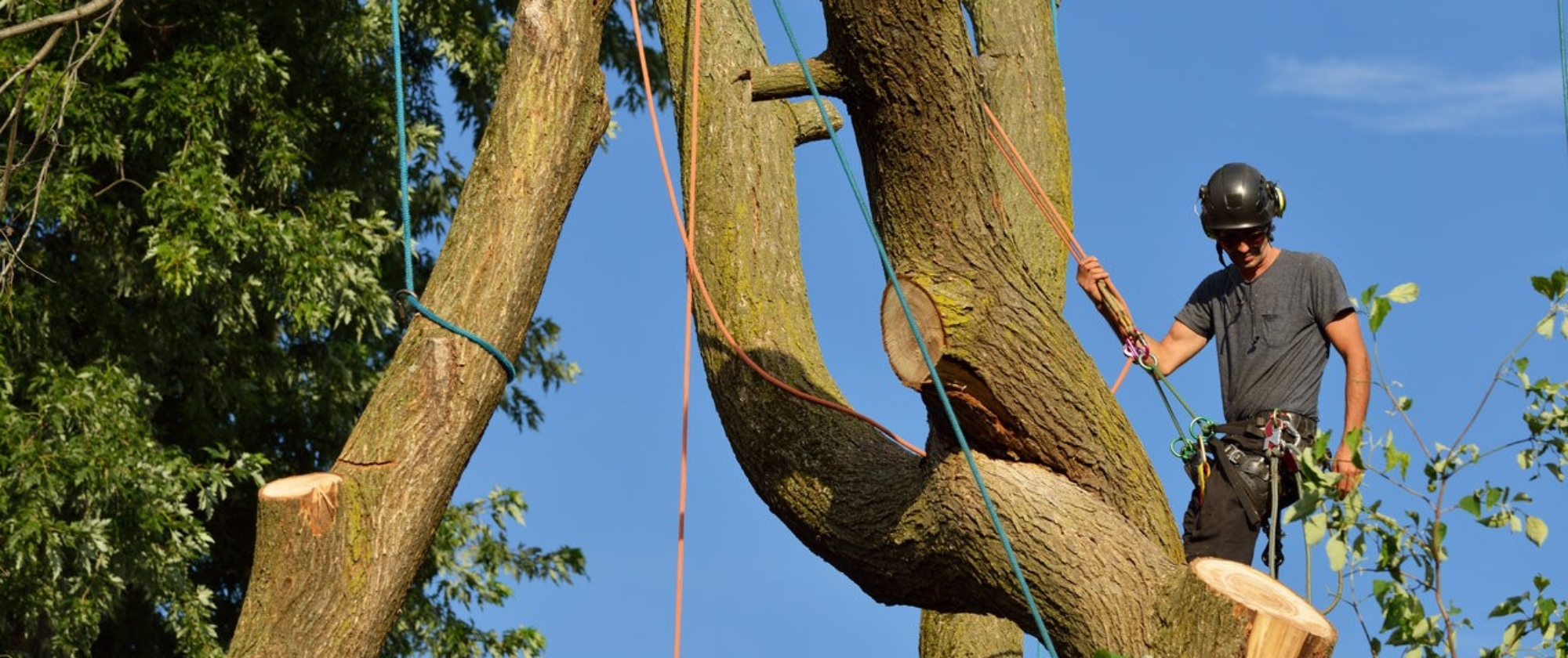 Arborist dismantling tree, holding log with ropes